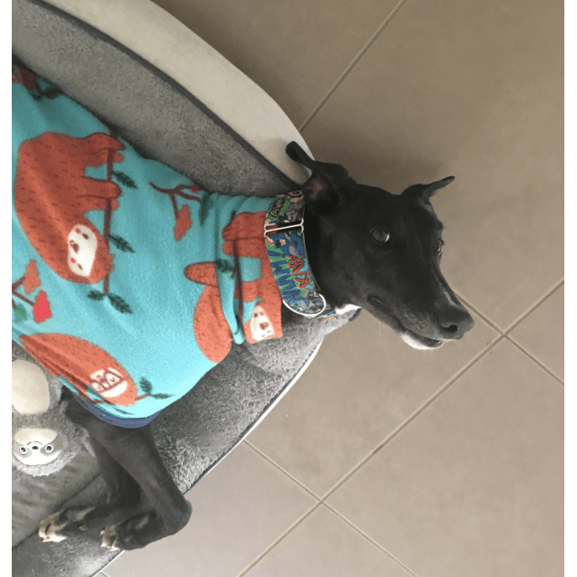 Aaron the rescue greyhound in Melbourne