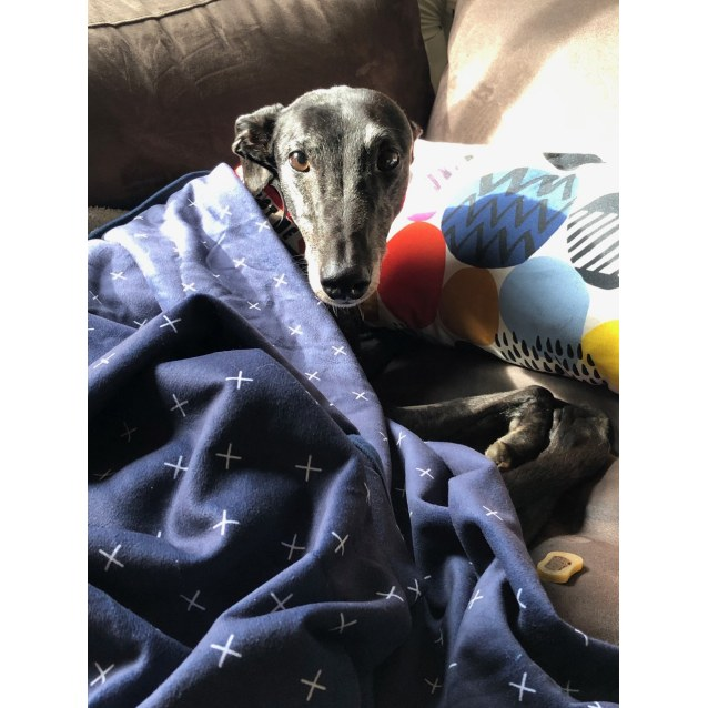 Alice the rescue greyhound in Melbourne
