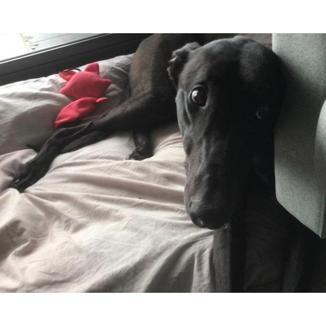 Alvin the rescue greyhound in Melbourne