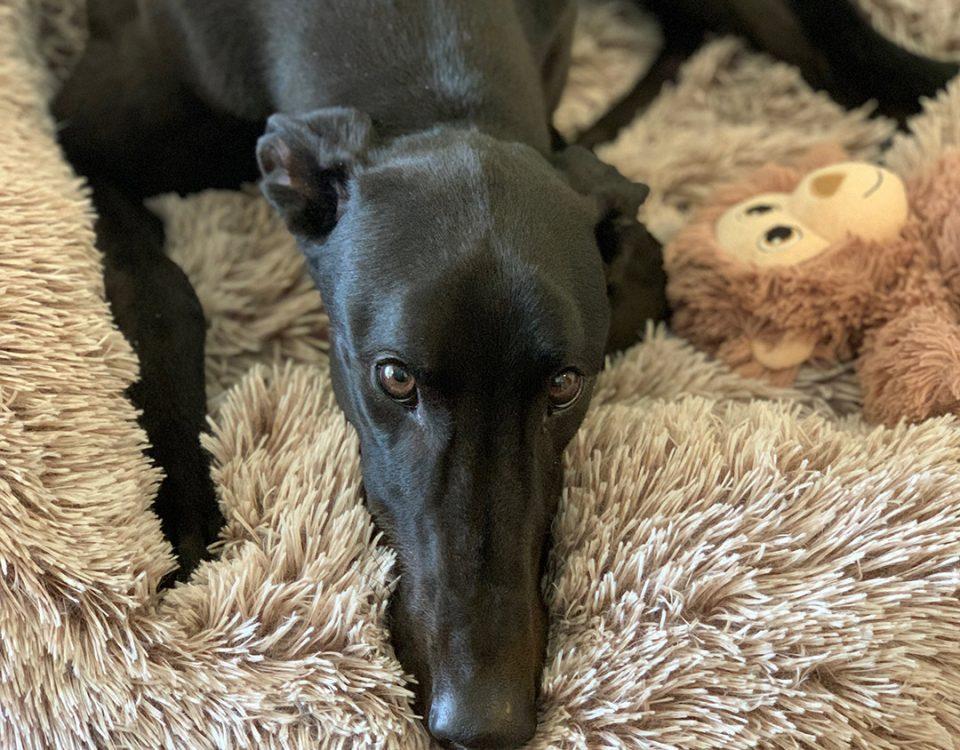 Bear the rescue greyhound in Brisbane
