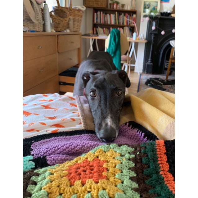 Billy the rescue greyhound in Melbourne