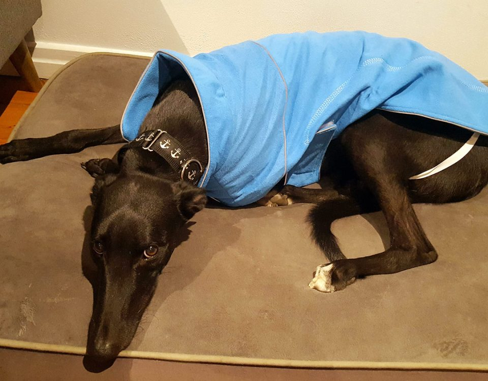 Blake the rescue greyhound in Brisbane