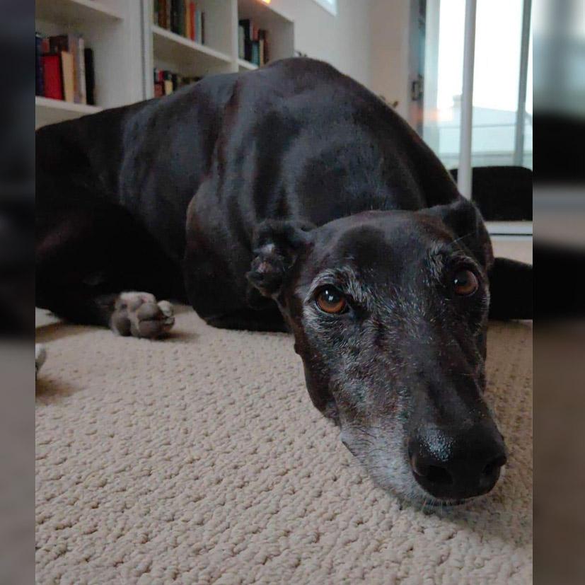Blaze the rescue greyhound in Brisbane