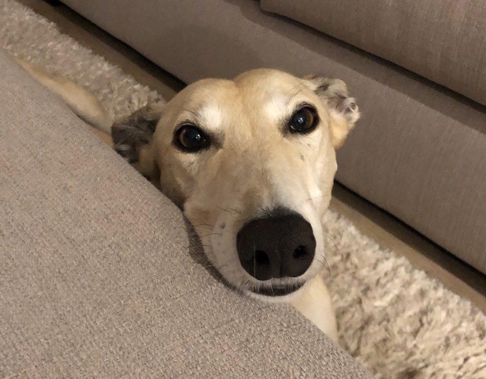 Blondie the rescue greyhound in Melbourne