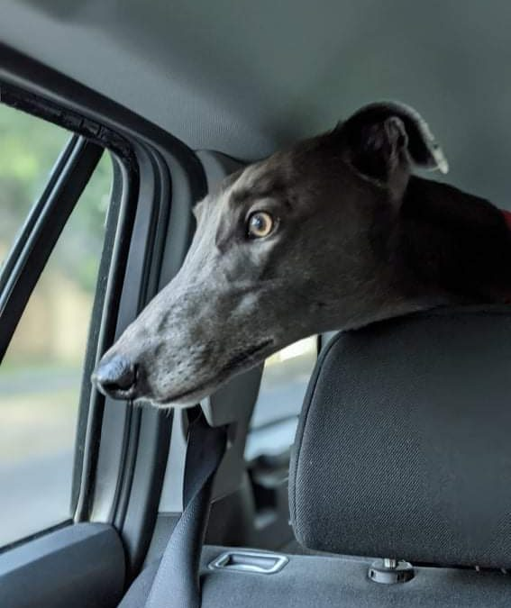 Blue the rescue greyhound in Melbourne