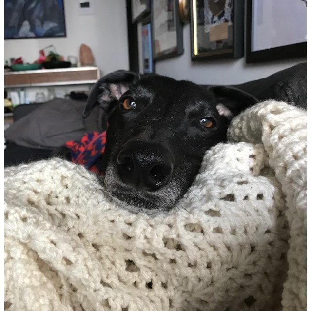 Bobby the rescue greyhound in Melbourne