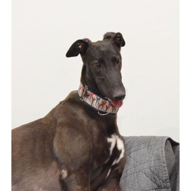 Brody the rescue greyhound in Melbourne
