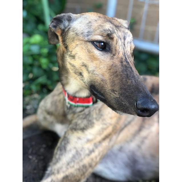 Buoy the rescue greyhound in Melbourne
