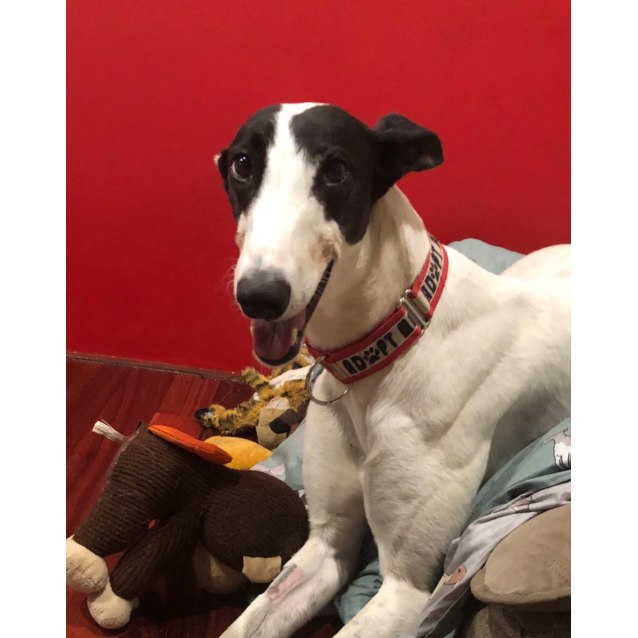 Charlotte the greyhound from Melbourne