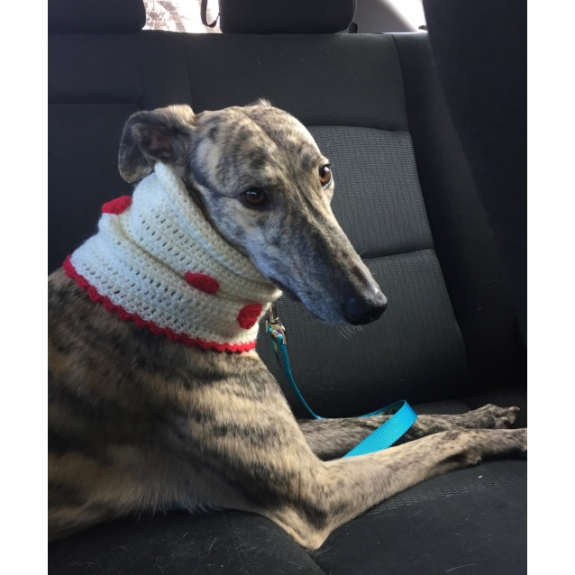 Cricket the rescue greyhound in Melbourne