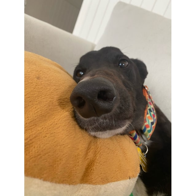 Duncan the rescue greyhound in Melbourne