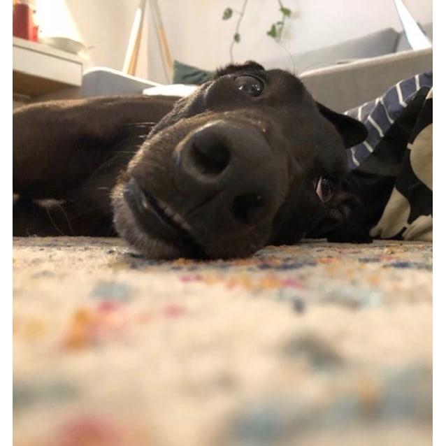 Elliot the rescue greyhound in Melbourne