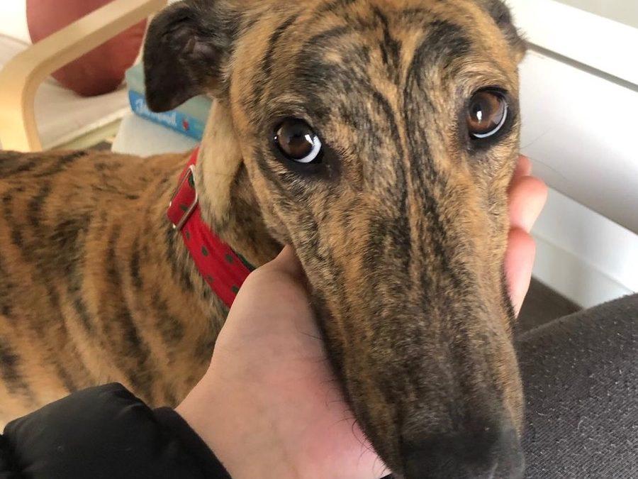 Elsie the rescue greyhound in Melbourne