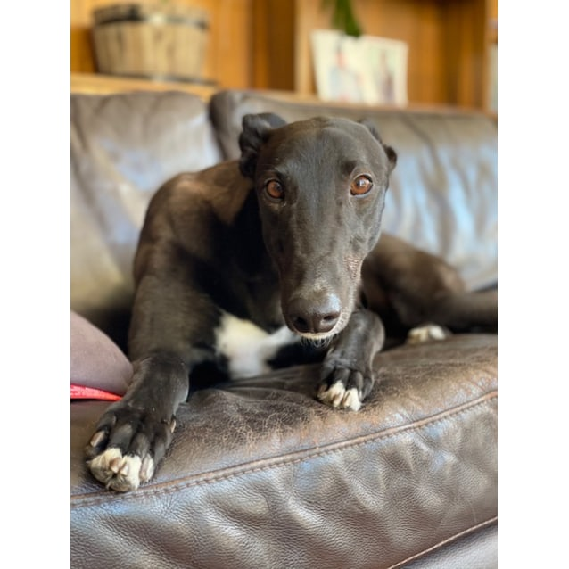 Garret the rescue greyhound in Melbourne