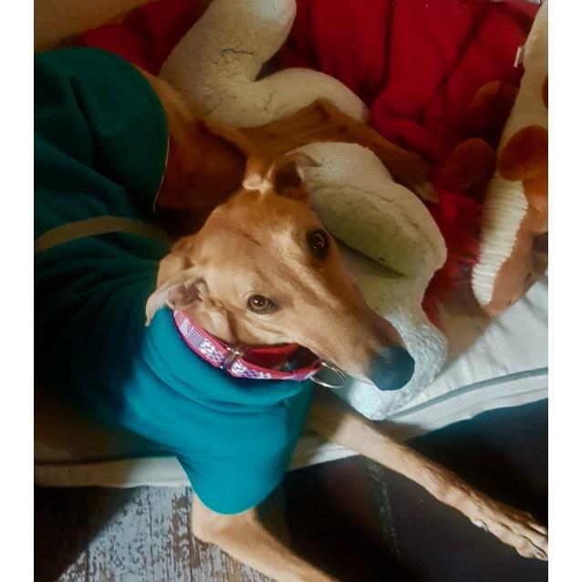 Georgia the rescue greyhound in Melbourne