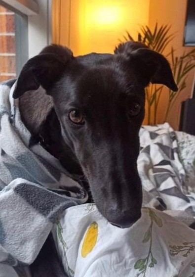 Holly the rescue greyhound in Melbourne