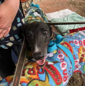Black greyhound at Hank Marvin Markets