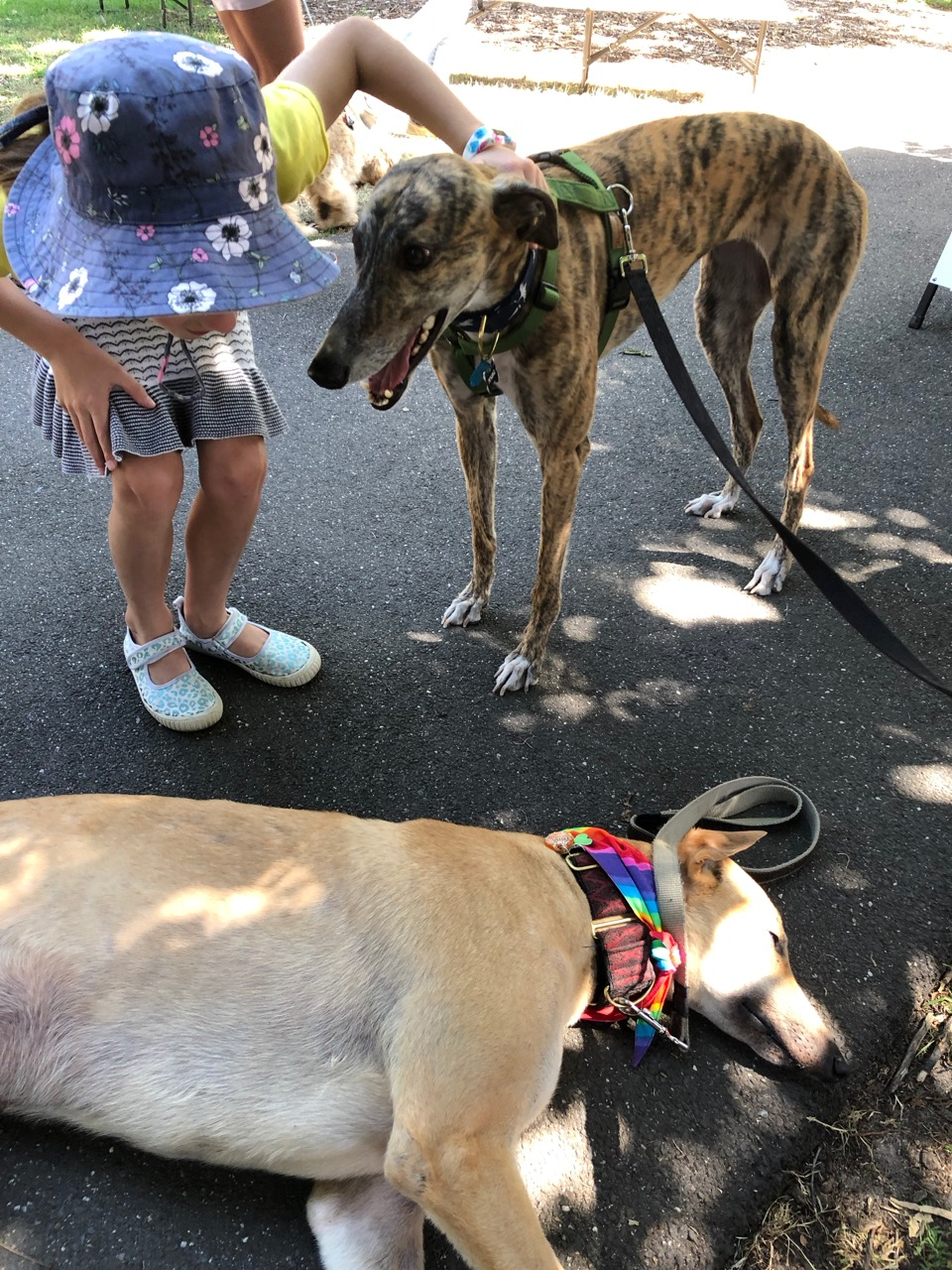 Girl patting greyhounds at Manly Markets