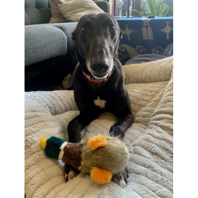 Jay the rescue greyhound in Melbourne
