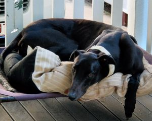 Jett the rescue greyhound in Brisbane
