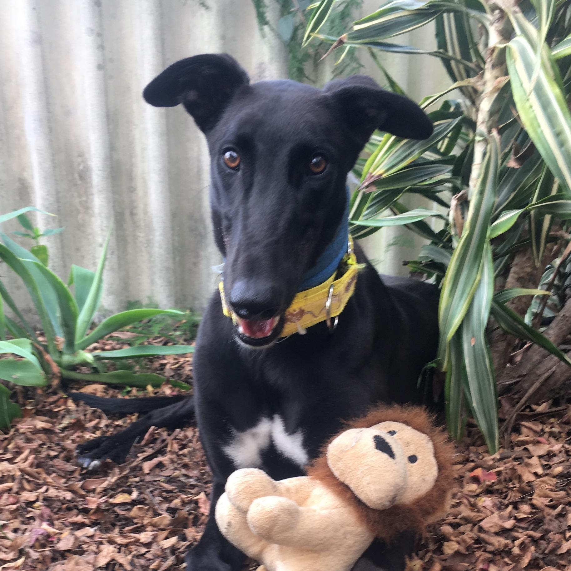Johnny the rescue greyhound in Queensland
