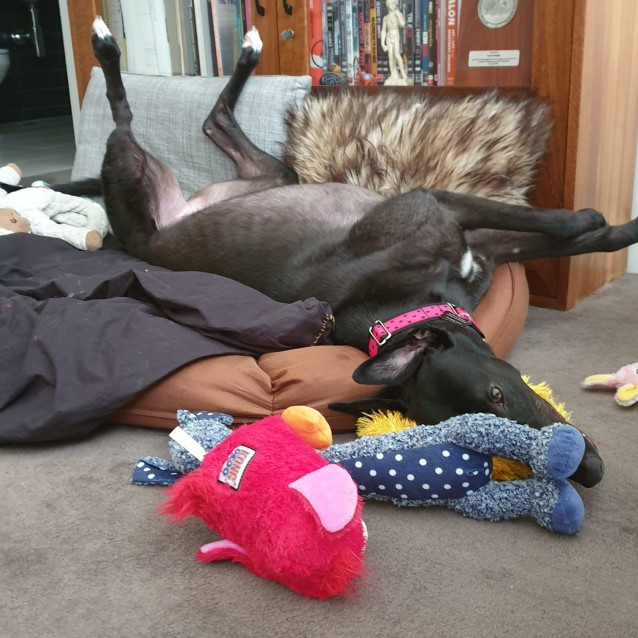 Kamala the rescue greyhound in Melbourne