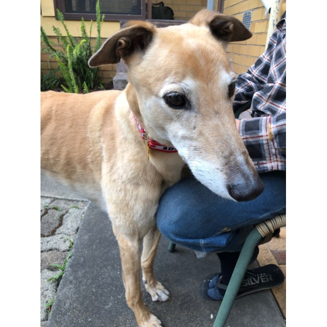 Lauchie the rescue greyhound in Melbourne