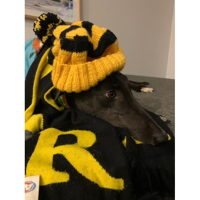 Levi the rescue greyhound in Melbourne
