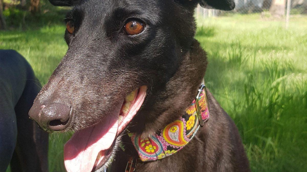 Lolly the rescue greyhound in Brisbane