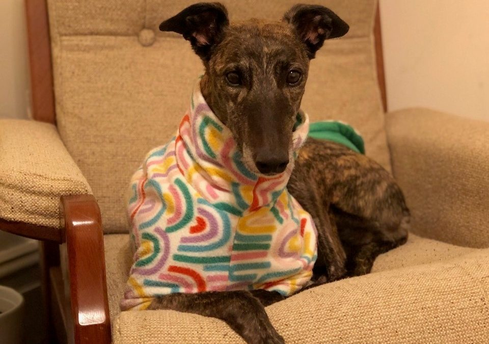 Macy the rescue greyhound in Melbourne