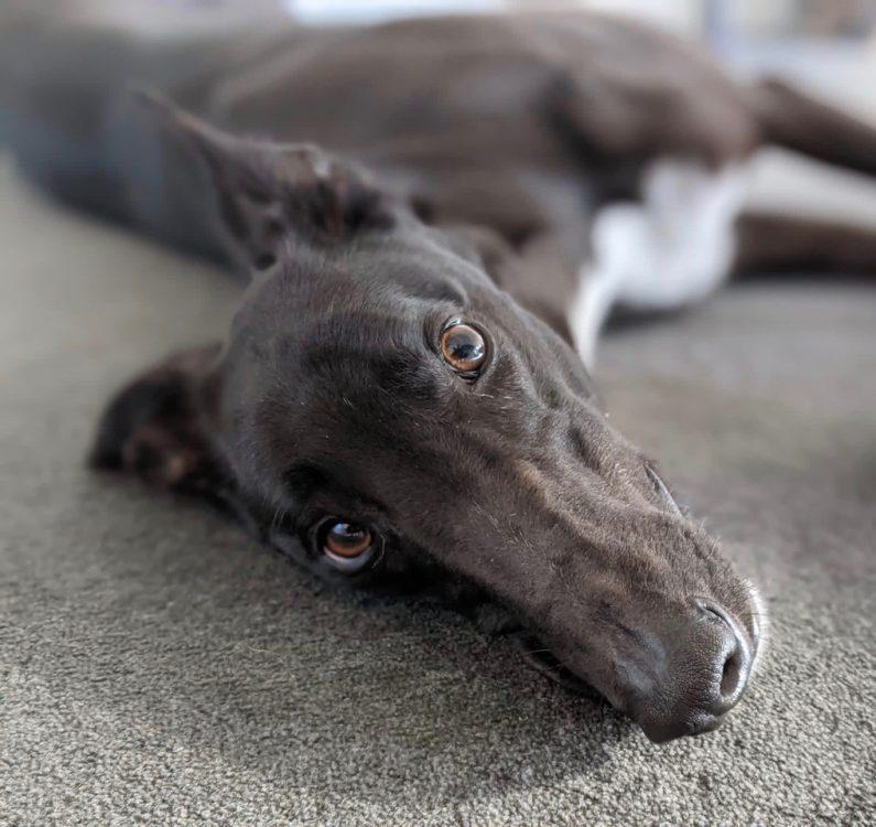 Mason the rescue greyhound in Melbourne