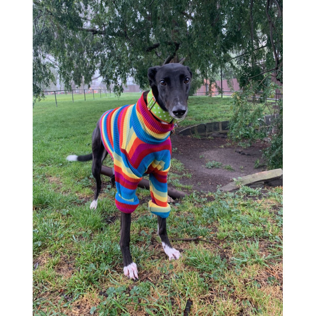Mauri the rescue greyhound in Melbourne