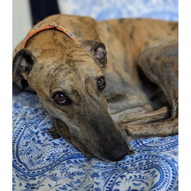 Mercury the rescue greyhound in Melbourne