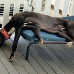 Milo the rescue greyhound from Melbourne