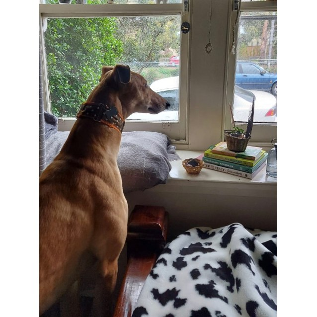 Mouse the rescue greyhound in Melbourne