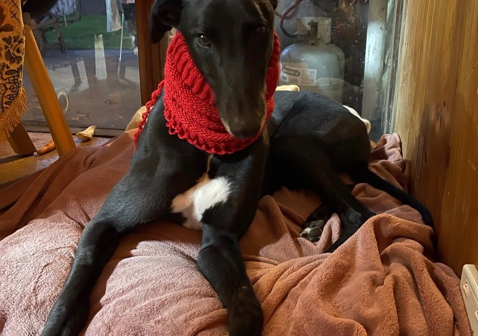 Ollie the rescue greyhound in Melbourne