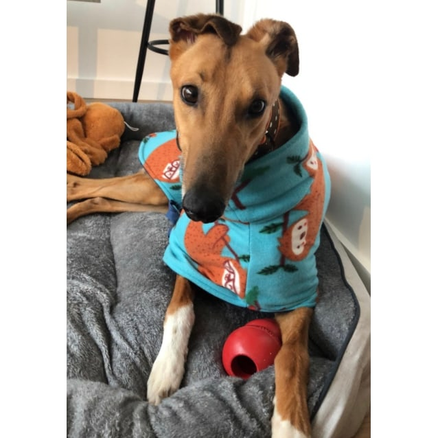 PAx the rescue greyhound in Melbourne