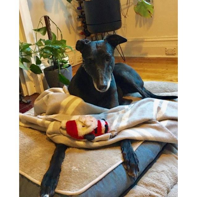 Prinnie the rescue greyhound in Melbourne