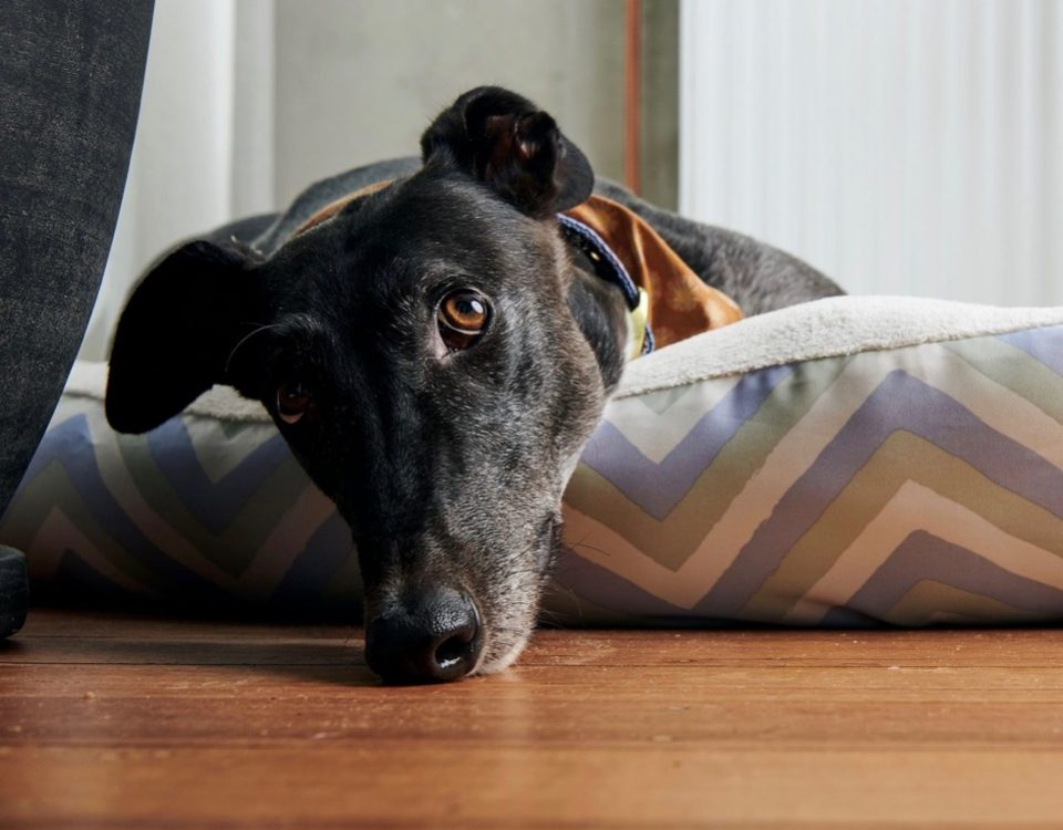 Ray the rescue greyhound in Melbourne