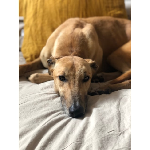 Remi the rescue greyhound in Melbourne