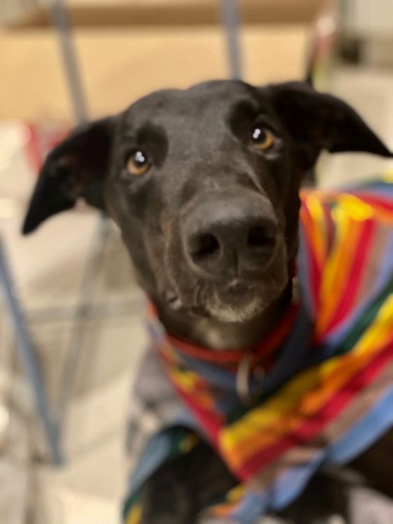 Sharky the rescue greyhound in Melbourne