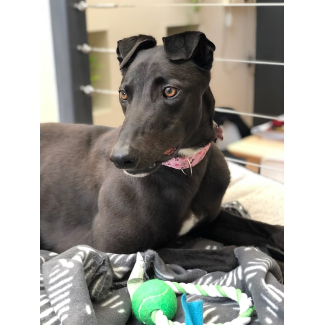 Shen the rescue greyhound in Melbourne