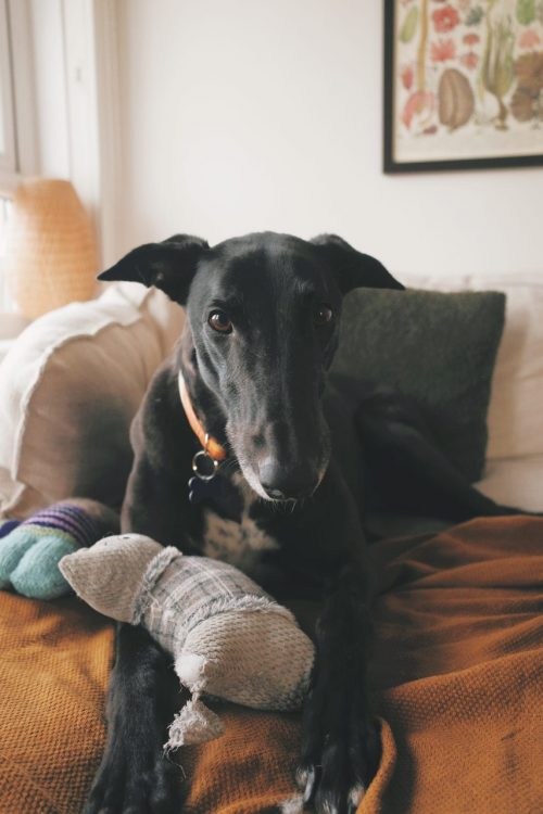 Skittles the rescue greyhound in Melbourne