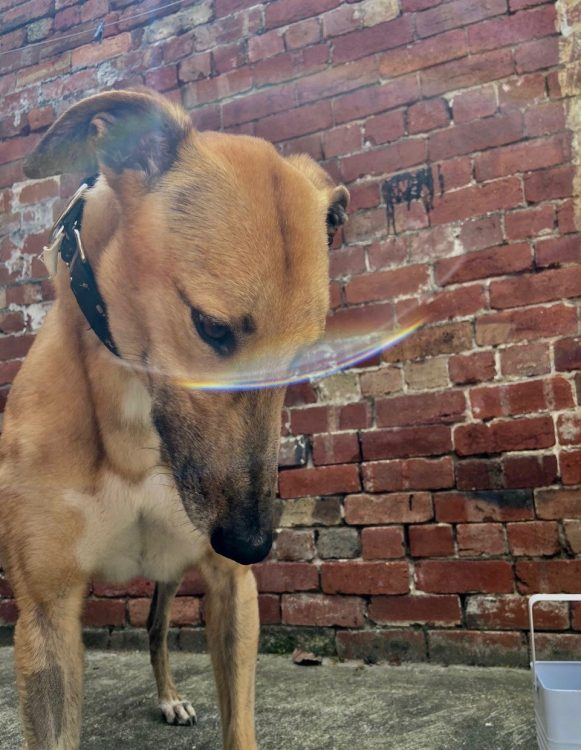 Slater the rescue greyhound in Melbourne