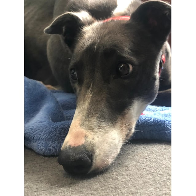 Sparkles the rescue greyhound in Melbourne
