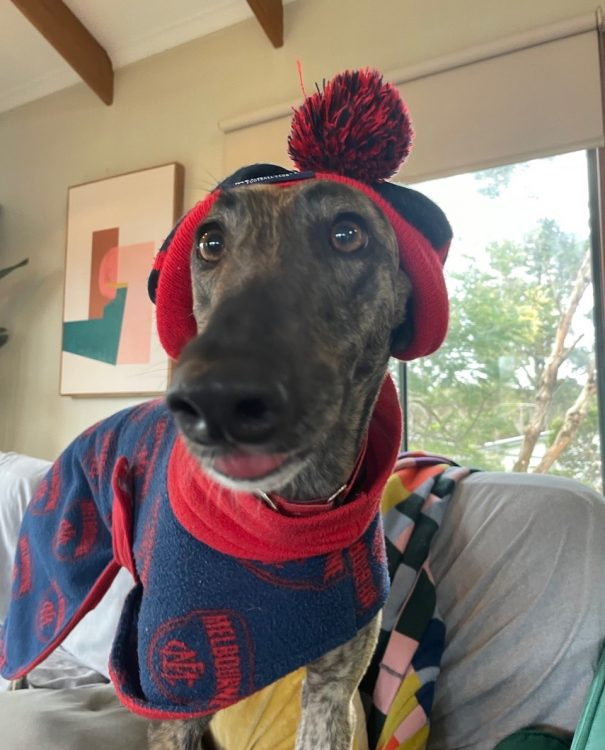 Thelma the rescue greyhound in Melbourne