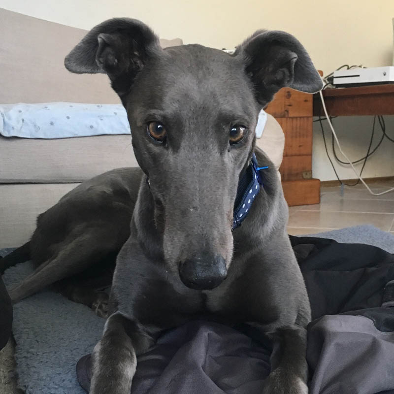 Thomas the rescue greyhound in the Gold Coast