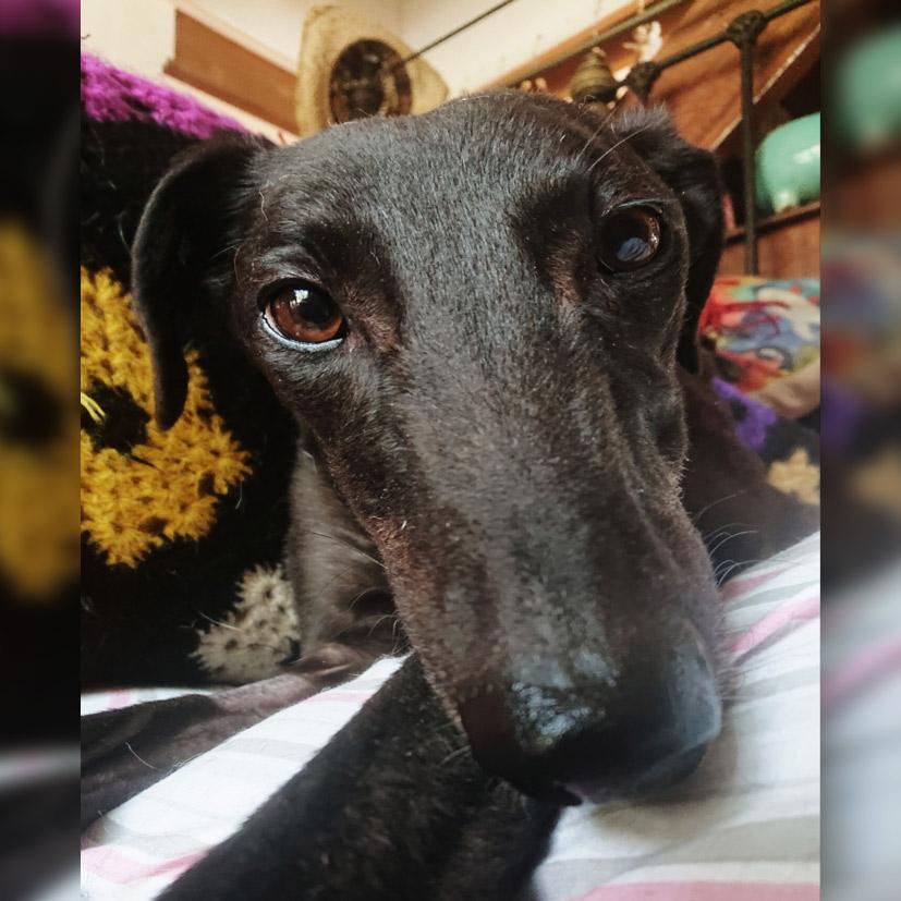 Winnie the rescue greyhound in Brisbane