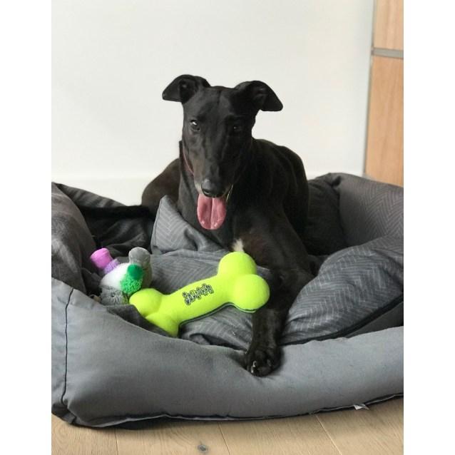 HAnk the rescue greyhound in Melbourne