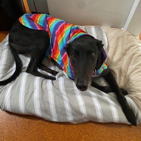 Arrow the rescue greyhound in Melbourne